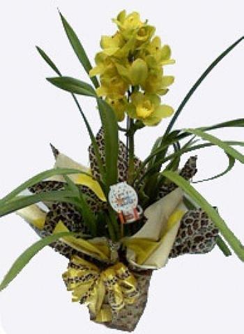 Orquidea Cymbidium  (R$ 180,00)