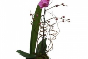 Orquidea Phalaenopsis Pink (R$ 180,00)